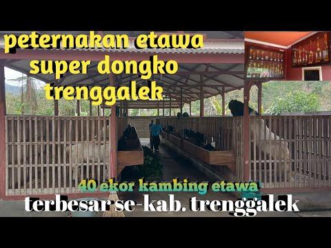 dolan-kandang-bpk-mono peternakan-kambing-etawa-super-terbesar- dongko-trenggalek