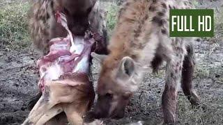 【ハイエナVSリカオンの凄い対決】獲物を奪い合う肉食獣たち!野生動物...