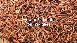 How to Fatten Up Red Wigglers!