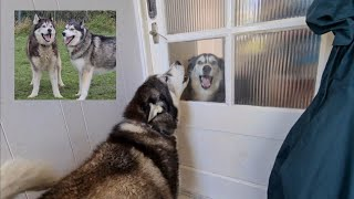 This is why these are the greatest Husky best friends you'll ever see