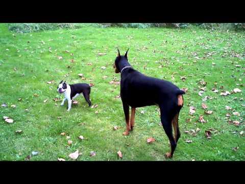 Doberman ATTACKS Boston Terrier