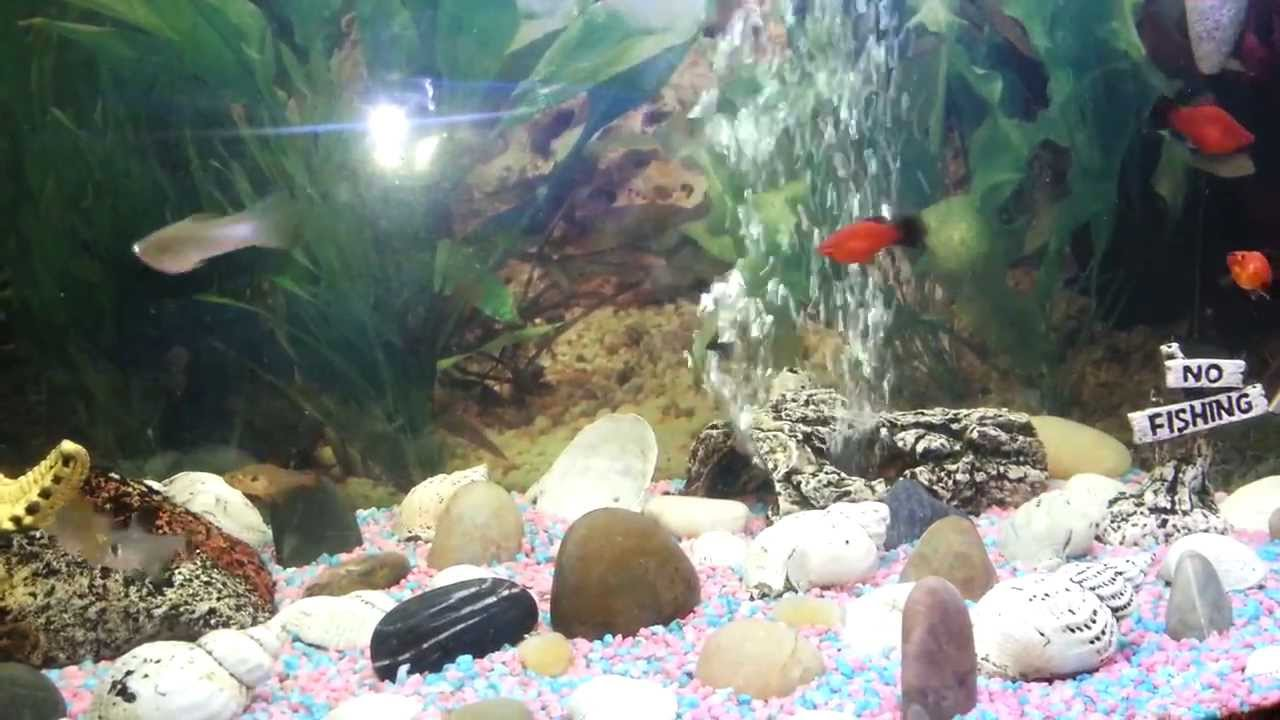Freshwater aquarium fish mating - Fish Mating And Playing Freshwater Tropical
