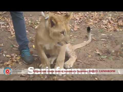 В Саратовской области армянская семья выгуливает львицу на поводке
