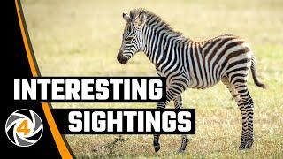 We adopt a baby Zebra...! ! !   by WILD4 Photo Safaris TANZANIA