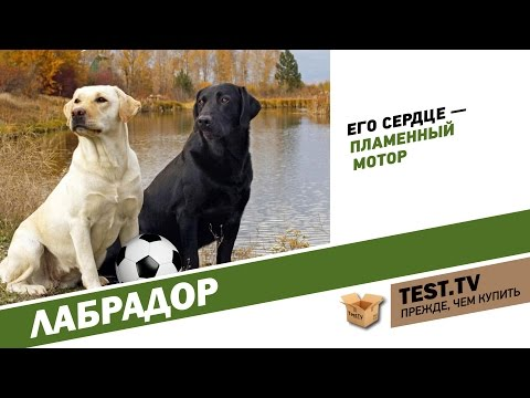 TEST.TV: Лабрадор собака футболист.