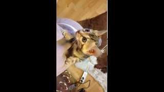 Прикольный ползучий котенок Ашера(Саванна)