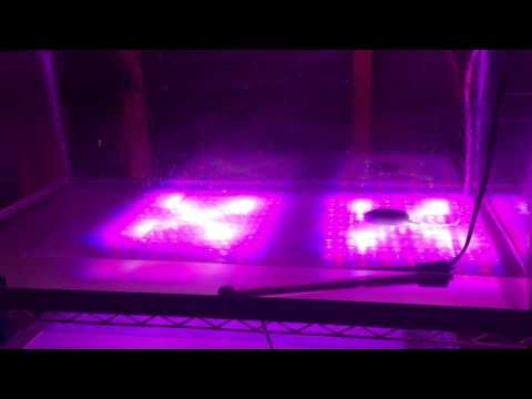 Spirulina:  One Week In, Lights On! (19)