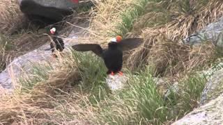 видео Птица топорок