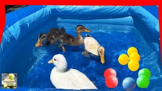 Duck Bathing in the Pool - Cute Duck - Swimming with the Ducks - The Animals Around Us
