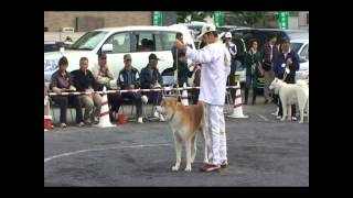 名誉章犬 北乃丈号が特別参考招待で紹介されています。だいぶ年を取りま...