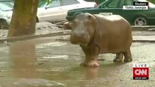 Shocking video! Real Jumanji in Georgia: animals escape Tbilisi zoo after flood