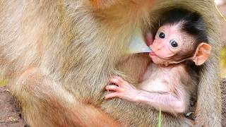 OMG- Eleno baby monkey get milk to much, Elsa mother very scare about her baby ?