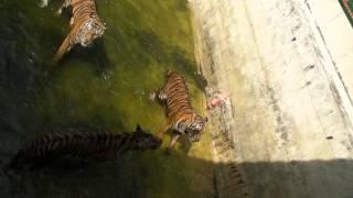 Людоеды тигры Смотреть до конца