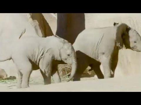 Elefantes bebés brincam no Zoo de San Diego
