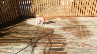 日本犬たちを日向ぼっこさせてます.