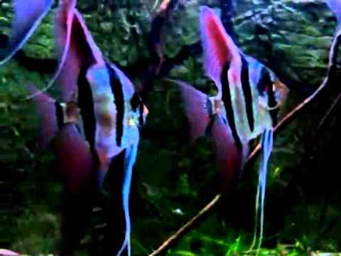 Cá Thần Tiên Ai Cập - Thiên Đường Cá Cảnh