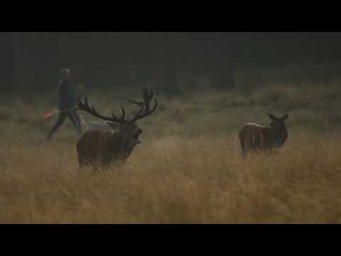 Red Deer Roaring at Richmond Park on 15th October 2016