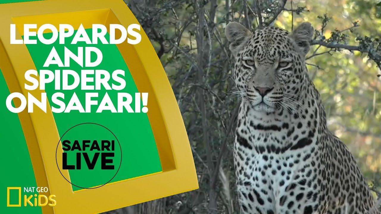 Leopards and Spiders on Safari! | Safari Live