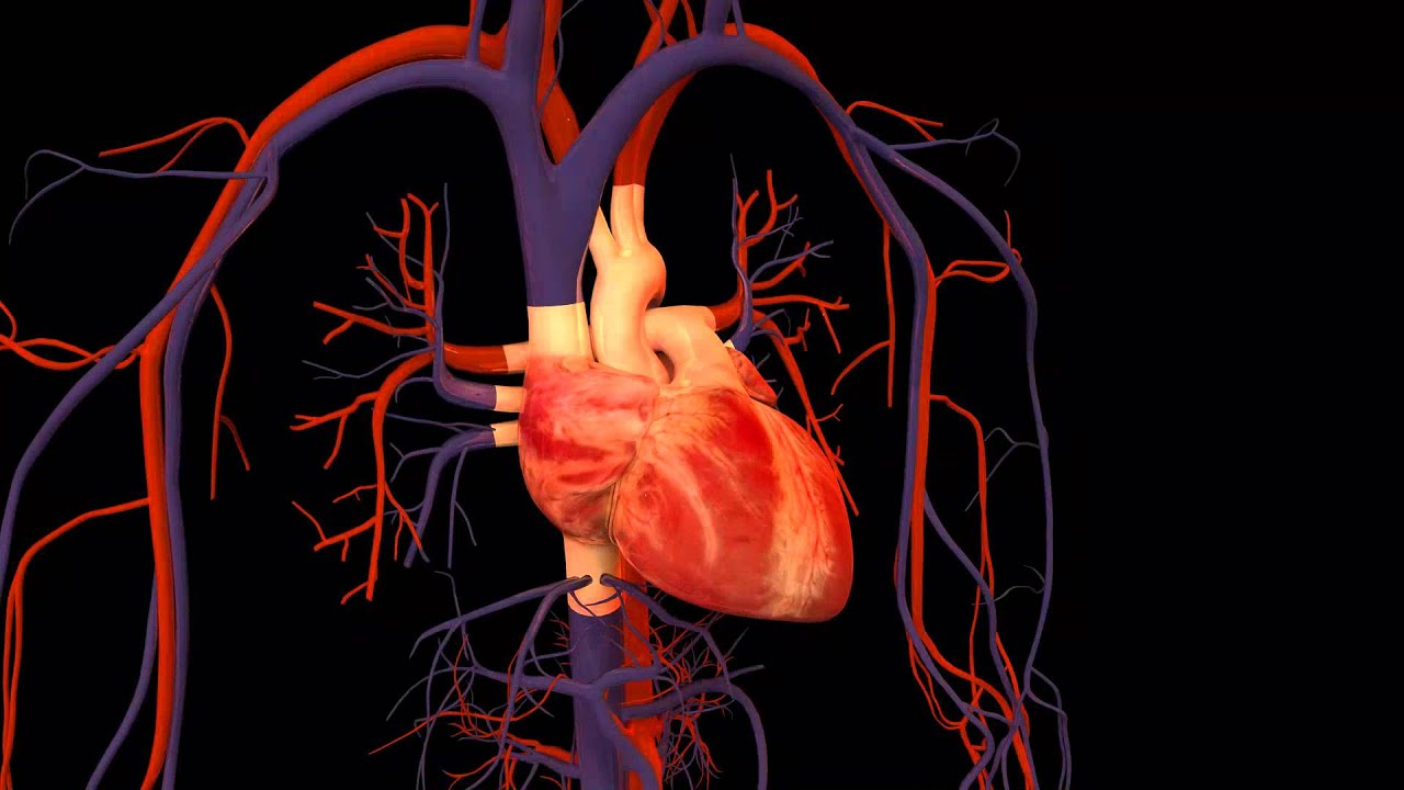 3D Heart Animation - YouTube