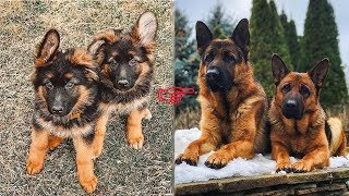 Funny and Cute german shepherd Puppies Compilation #5  Cutest german shepherd 2020