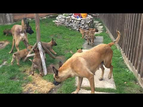 The cutest Belgian Malinois puppies playing