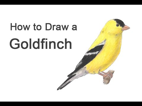 How to Draw a Goldfinch - YouTube