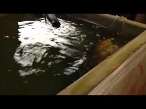 Fish swimming erratically