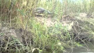 Crocodile on the Zambezi River