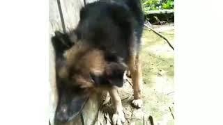Download Video Anjing gigit majikan, Lihat yg terjadi MP3 3GP MP4