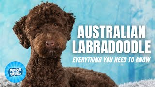 Australian Labradoodle Dog Breed Information  One of The Most Intelligent Poodle Hybrids | Dogs 101
