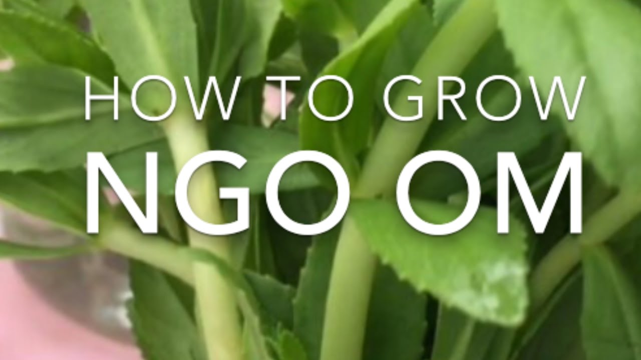 How To Grow Ngo Om  Rice Paddy Herb  Bought From The Grocery Store  Part 1