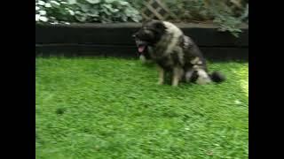 Keeshond Puppies For Sale Samuel Stoltzfus
