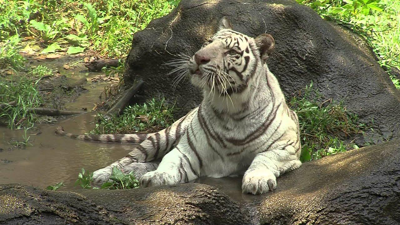 White Tiger Cooling In Water Cincinnati Zoo Youtube