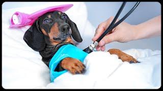 Don't trust cute dachshund eyes vol.5! Funny dog video!