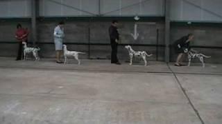 Dalmatian - Jabbawock Jet Propelled Showing At Welsh Kennel Club 2009