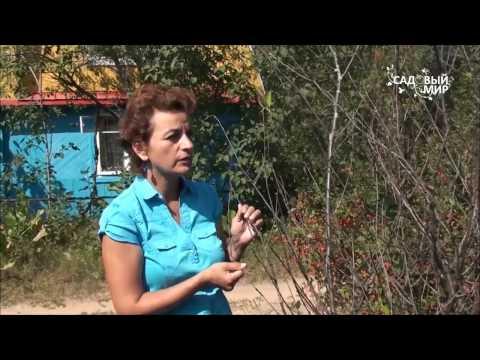 видео: Болезни  вишни.  Коккомикоз. Сайт