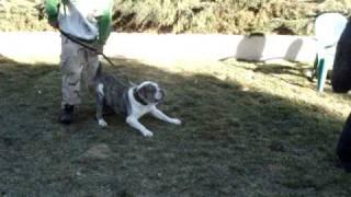 Alapaha Blue Blood Bulldogs (bluebloodbulls.com)