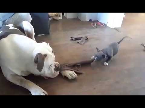Puppy Plays Tug-of-War with American Bully
