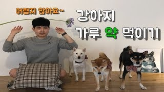 How to Feed Puppy Medicine / shibainu / shiva / shiba dog