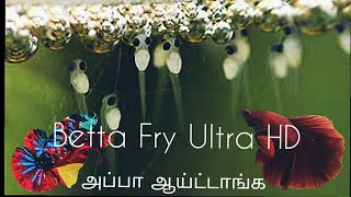 New Born Betta Fry HD-Breeding Experience-Eshwar Gandhi