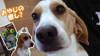 Beagle #ビーグル #うぃるさん いつも癒しを提供してくれるうぃるさん...