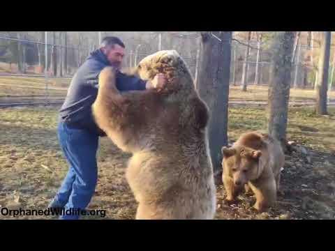 The Simple Bear Necessitates - Wrestling Edition