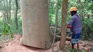 Large Dangerous Cutting of Albasia  Chainsaw STIHL MS 651