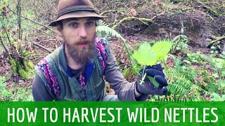 How to Harvest Wild Stinging Nettles | Harmonic Arts