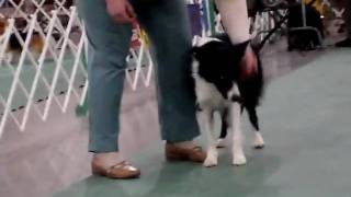 Border Collies Performing At The Kennel Club Dog Show