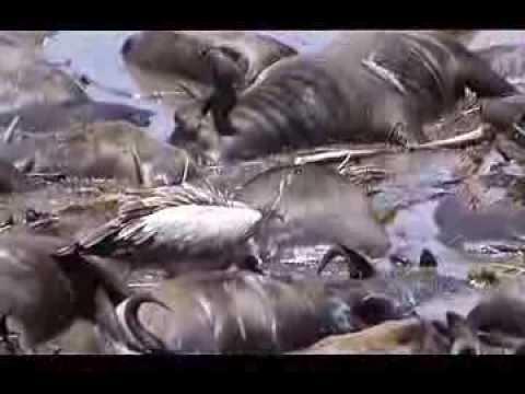 Kenia - Masai Mara - Victims of the great migration