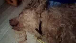 Неадекватные защитники собак натравливают своих собак на домашних животных в Казани.