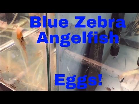 Blue Zebra Angelfish Eggs Sunday Funday
