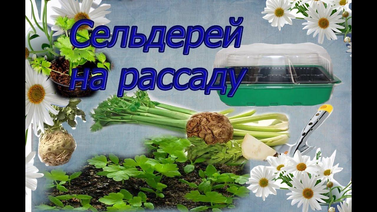 Выращивание рассады сельдерея (корневого, листового, черешкового)