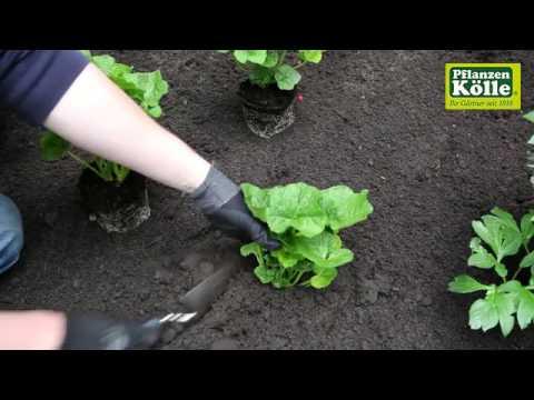 Stockrose Einpflanzen Im Garten I Pflanzen Kolle Youtube